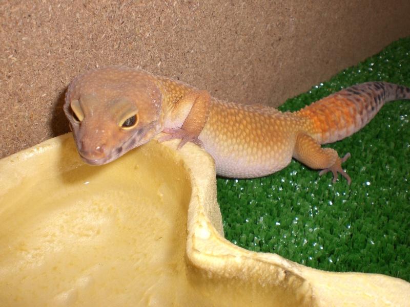 mes gecko Cimg2711
