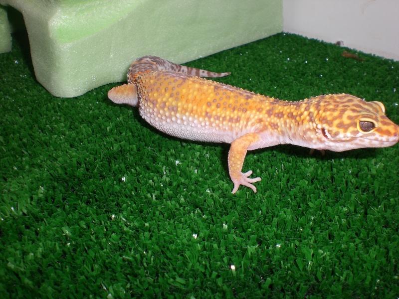 mes gecko Cimg2714