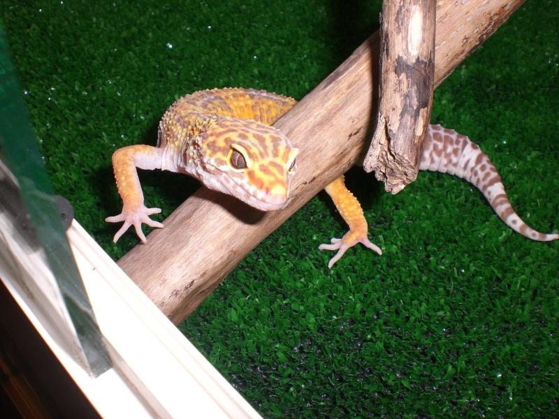 mes gecko Cimg2715