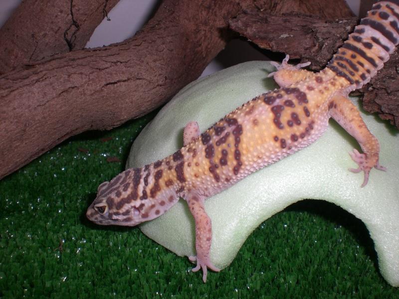 mes gecko Cimg2716