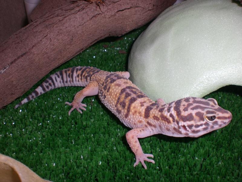 mes gecko Cimg2717