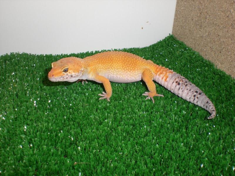mes gecko Cimg2718