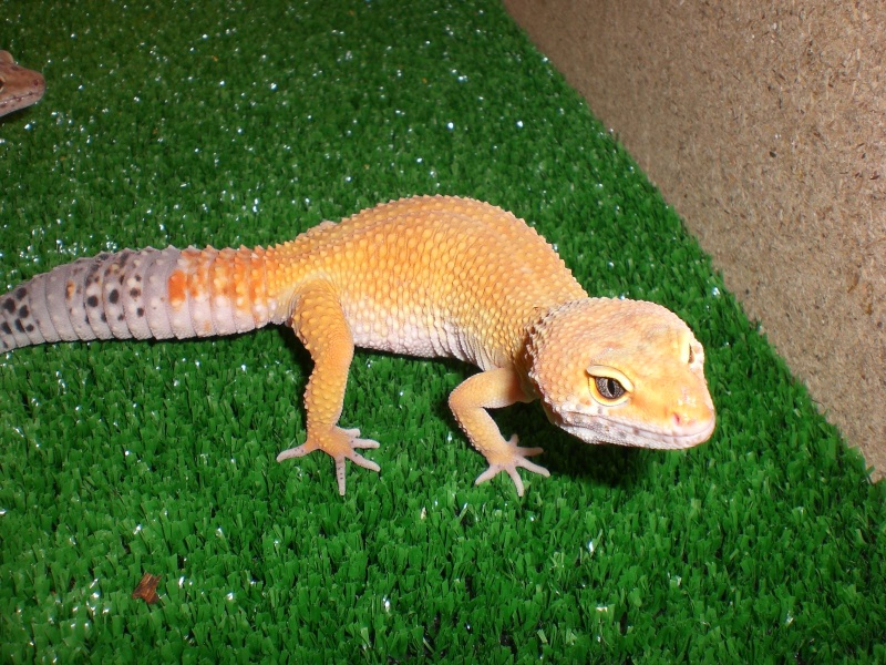 mes gecko Cimg2719