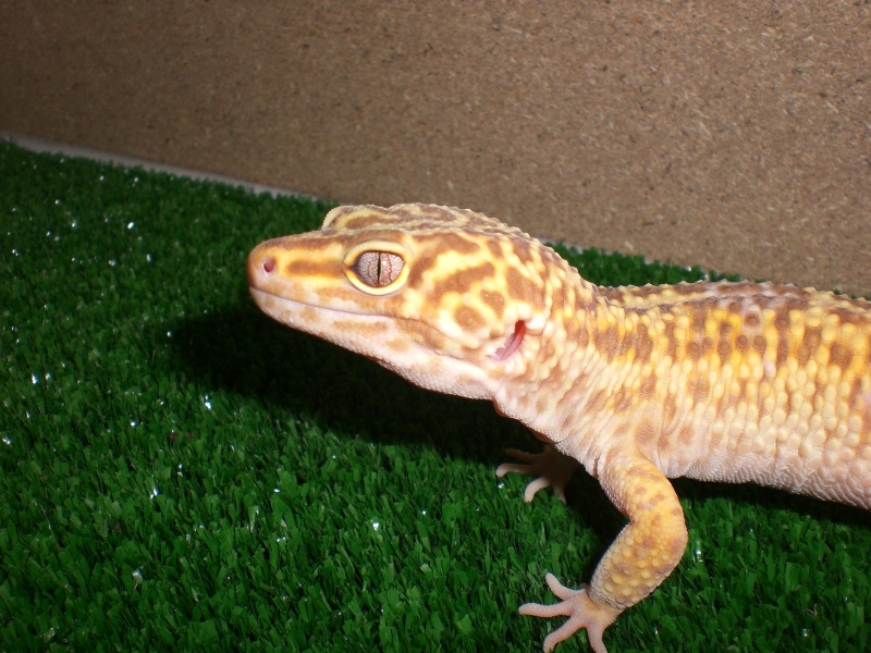 mes gecko Cimg2720