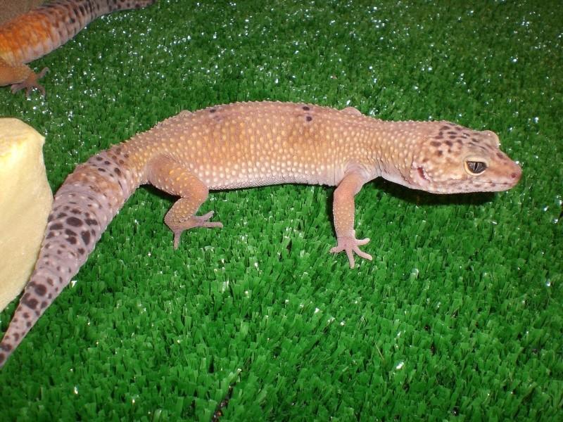 mes gecko Cimg2721