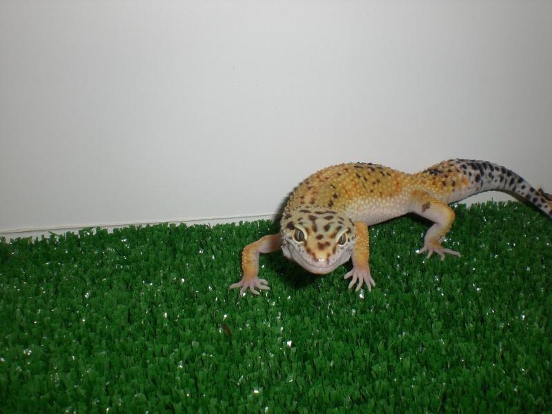 mes gecko Cimg2722