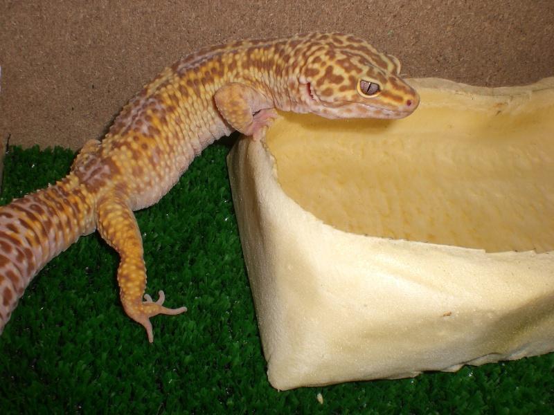mes gecko Cimg2812