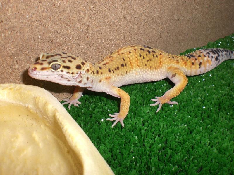 mes gecko Cimg2814