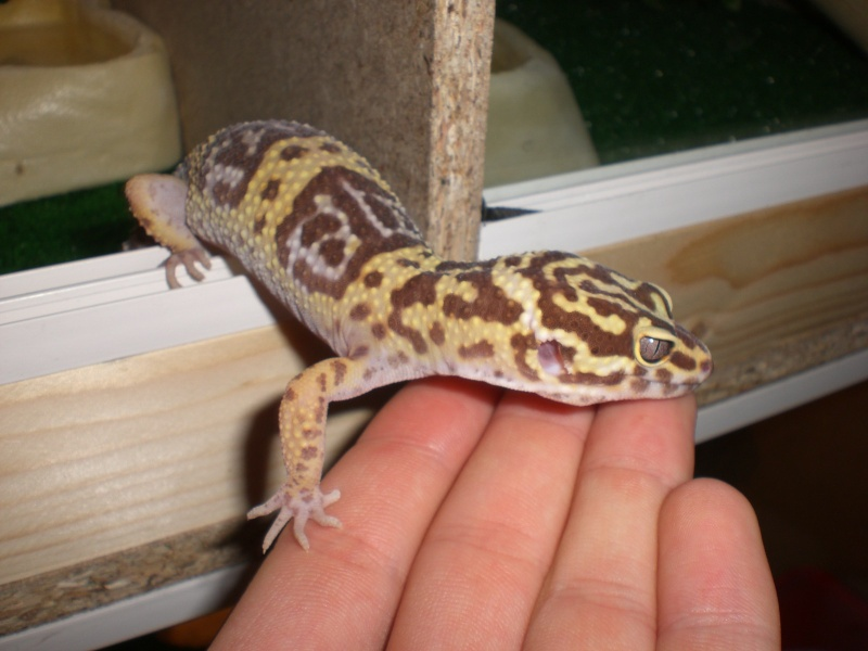 mes gecko Cimg2815