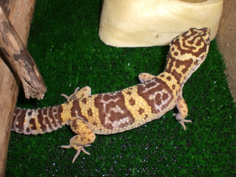 mes gecko Cimg2816