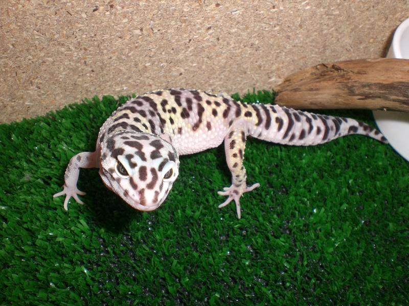 mes gecko Cimg2817