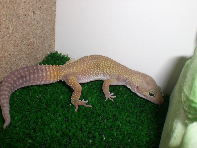 mes gecko Cimg2819