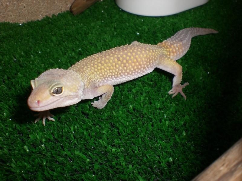 mes gecko Cimg2820