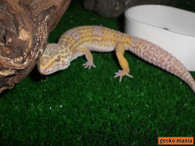 mes gecko Cimg3113