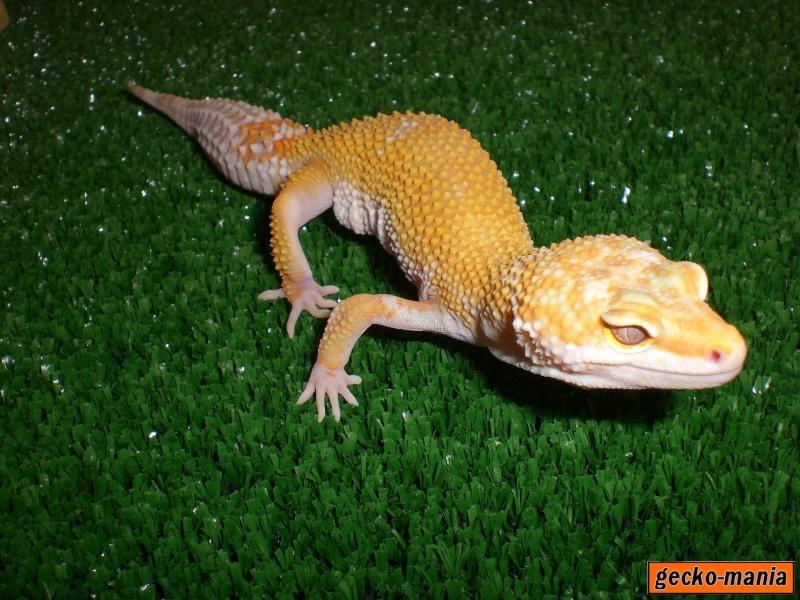 mes gecko Cimg3220