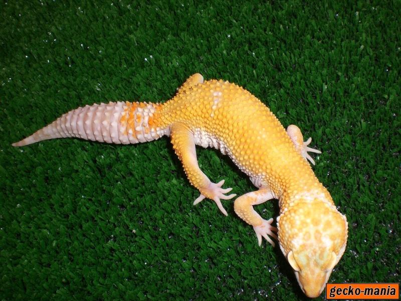 mes gecko Cimg3221