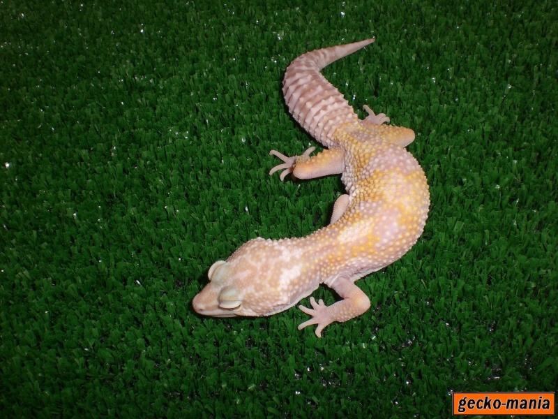 mes gecko Cimg3223
