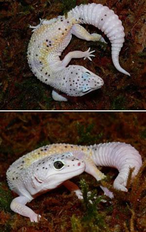 phase de gecko léopard Enigma10