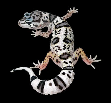 phase de gecko léopard Mack-s10