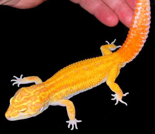 phase de gecko léopard Raptor10