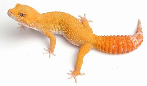 phase de gecko léopard Sunglo10