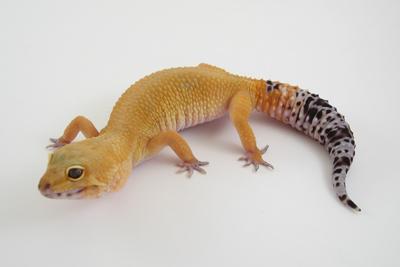 phase de gecko léopard Super_11