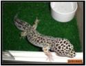 mes gecko Sans_t10