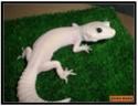mes gecko Sans_t12
