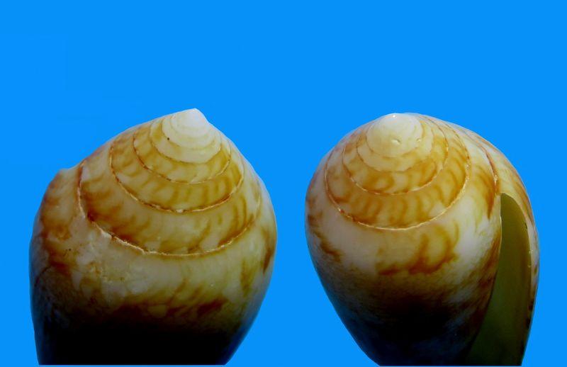Conus (Cylinder) aureus   Hwass in Brugière, 1792 - Page 2 C_aure17