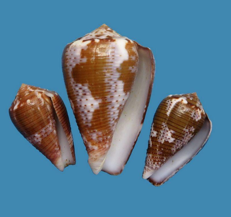 Conus (Pionoconus) easoni   (Petuch & Berschauer, 2018) - Page 2 C_easo11