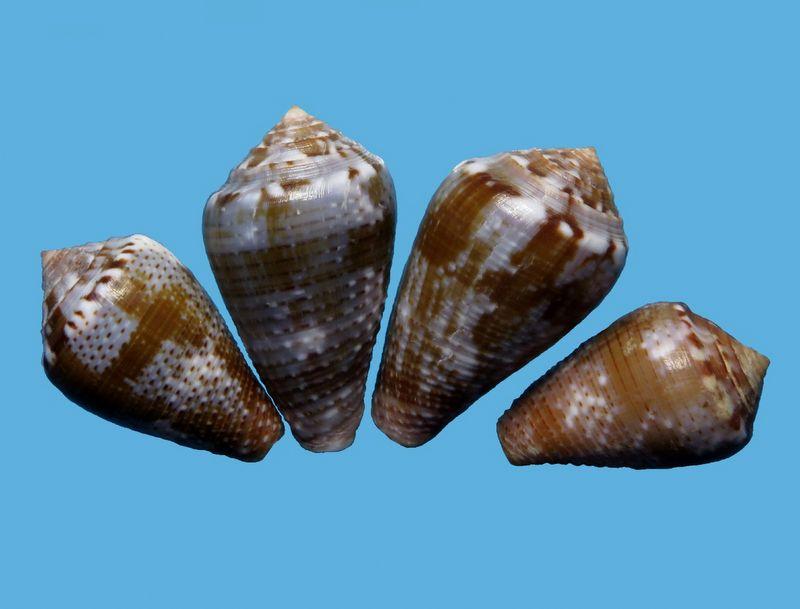 Conus (Pionoconus) easoni   (Petuch & Berschauer, 2018) - Page 2 C_easo12