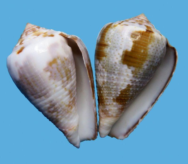 Conus (Pionoconus) easoni   (Petuch & Berschauer, 2018) - Page 2 C_easo14
