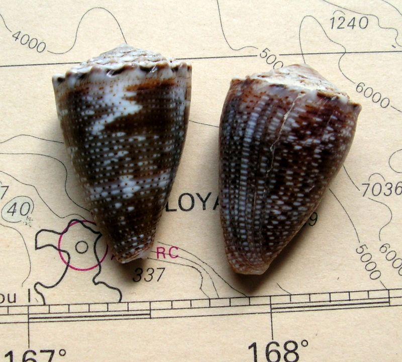 Conus (Virroconus) encaustus Kiener, 1845 C_enca10
