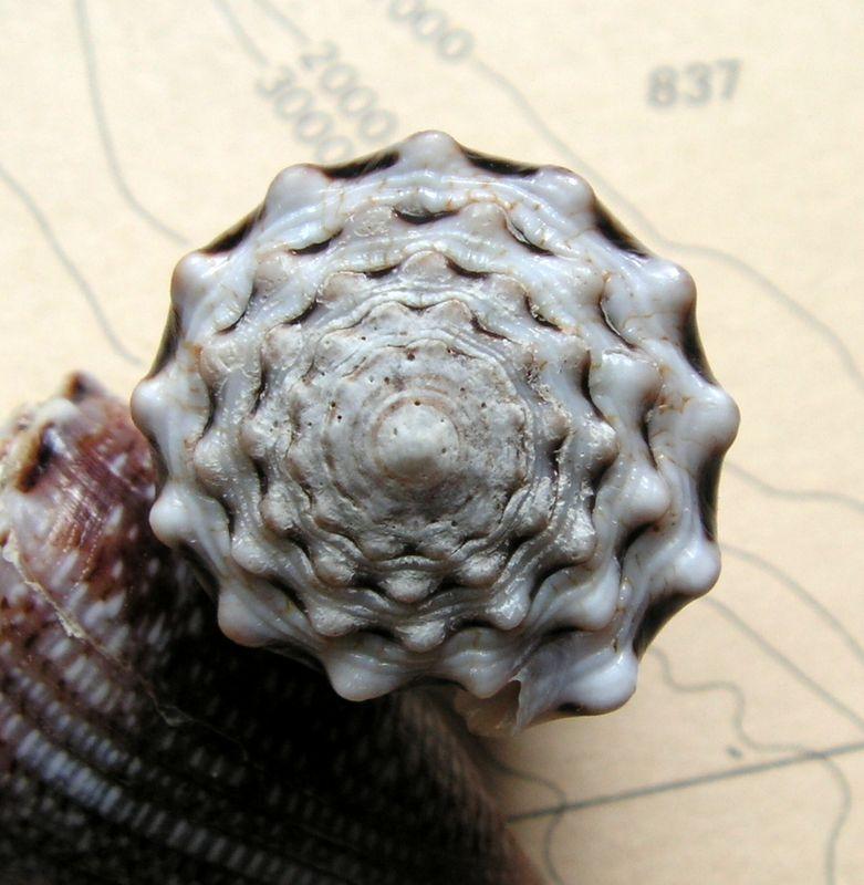 Conus (Virroconus) encaustus Kiener, 1845 C_enca13