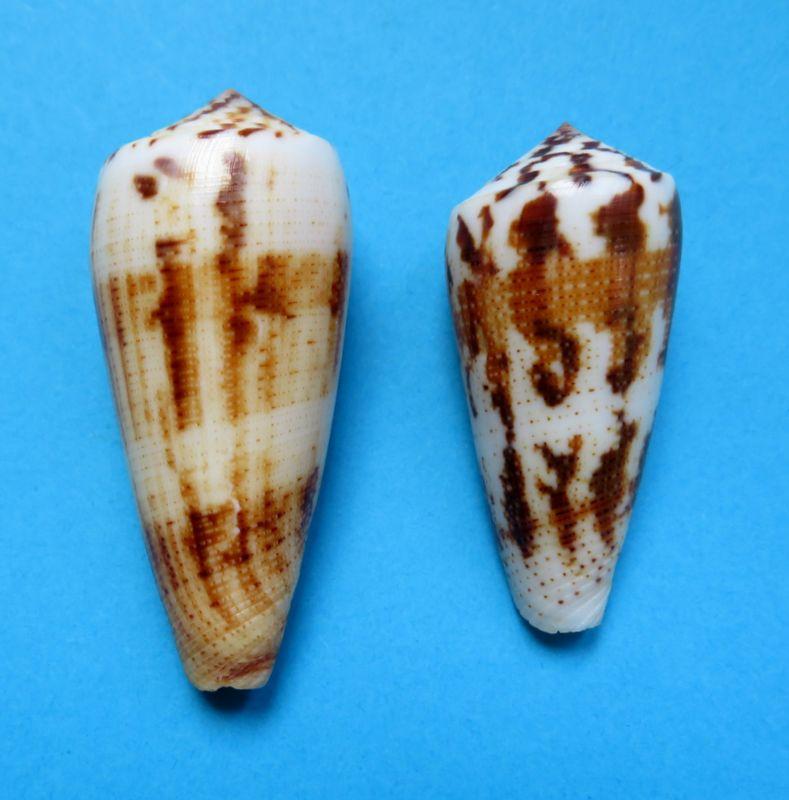 Conus epistomium (Pionoconus) Reeve, 1844 C_magu12