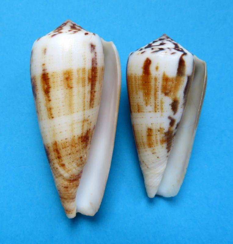 Conus epistomium (Pionoconus) Reeve, 1844 C_magu13