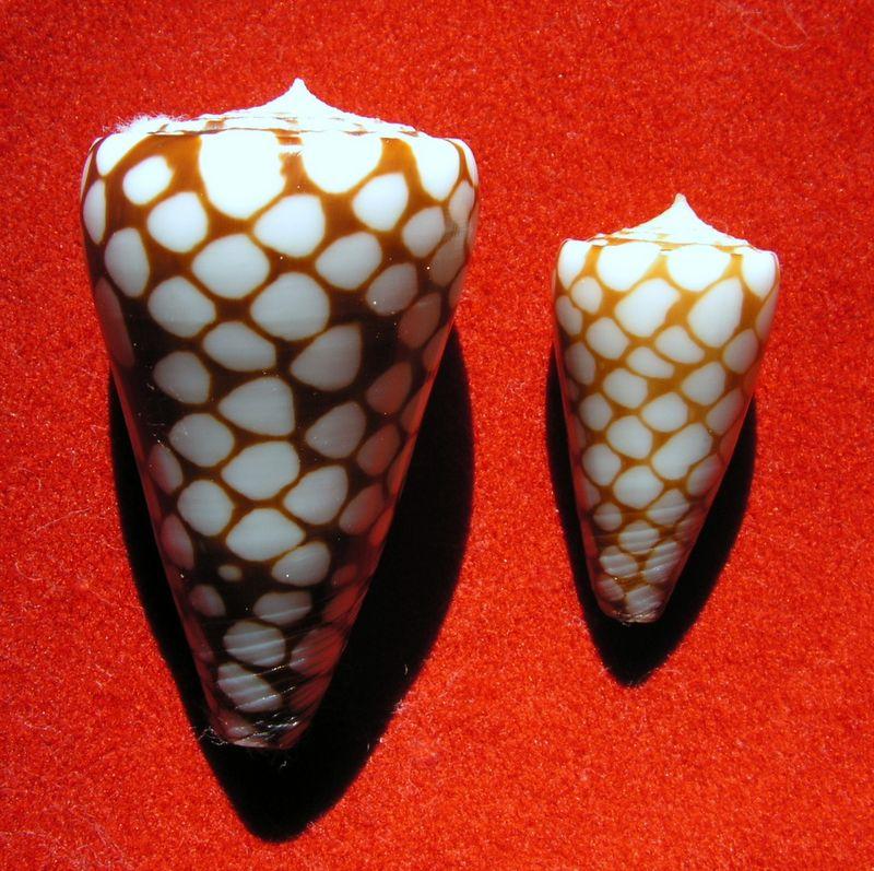 Conus (Eugeniconus) marchionatus   Hinds, 1843 C_marc10