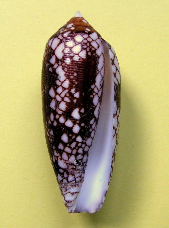 Conus (Darioconus) michelcharlesi (Monnier, Limpalaer & Prugnaud, 2020) C_mich10