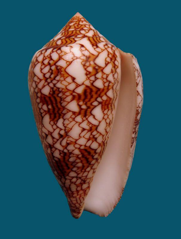 Conus (Cylinder) neovicarius   da Motta, 1982 - Page 2 C_neov14