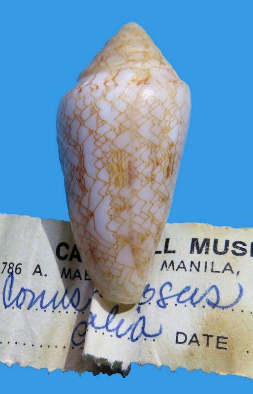 Conus (Cylinder) nodulosus (Sowerby II, 1866)  C_nodu10