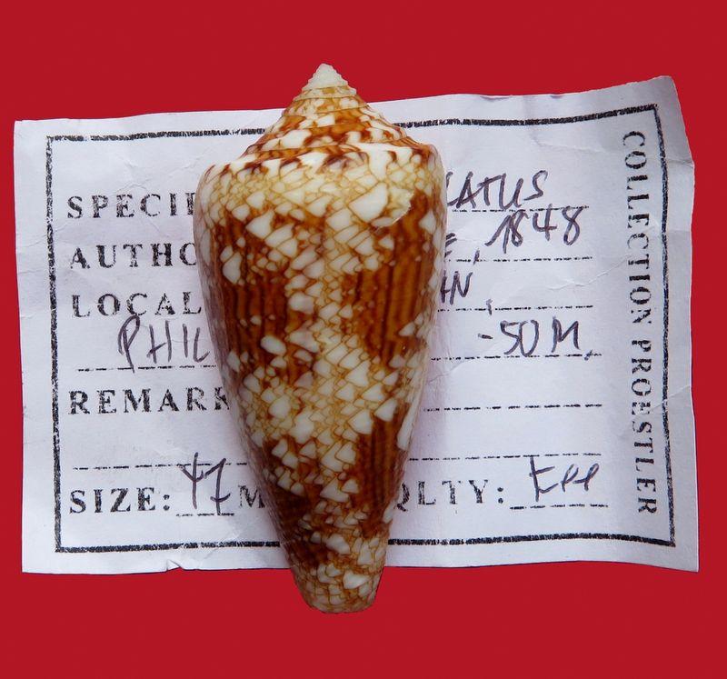 Conus (Cylinder) scottjordani (Poppe, Monnier & Tagaro, 2012) C_scot10