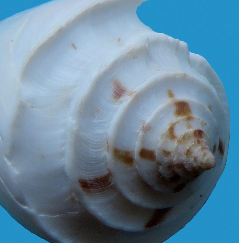 Conasprella (Endemoconus) sieboldii (Reeve, 1848)  C_sieb12