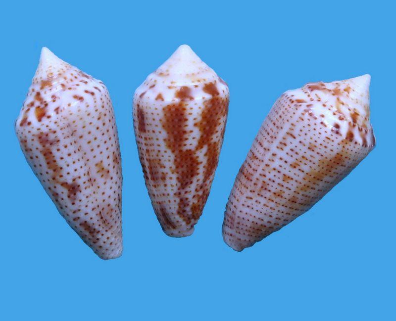 Conasprella (Ximeniconus) ximenes (Gray, 1839) C_xime13