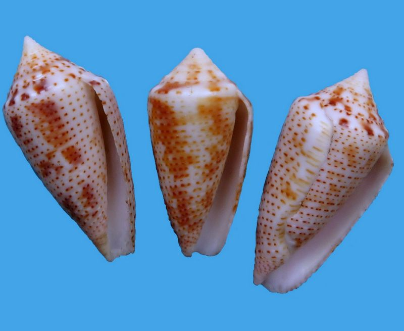 Conasprella (Ximeniconus) ximenes (Gray, 1839) C_xime14