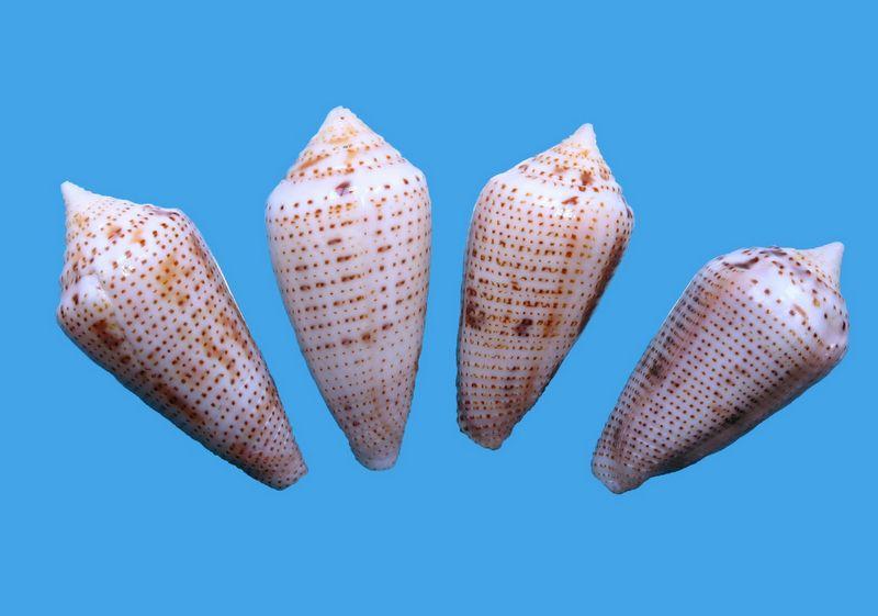 Conasprella (Ximeniconus) ximenes (Gray, 1839) C_xime16