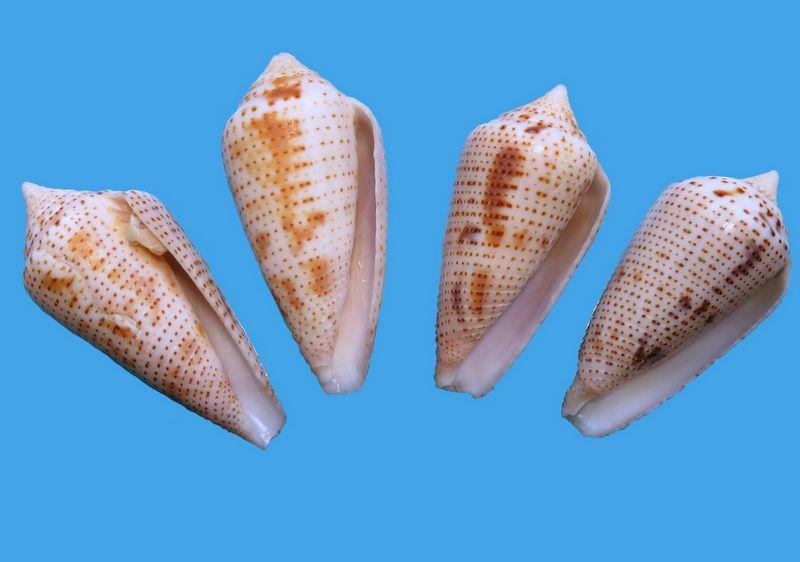 Conasprella (Ximeniconus) ximenes (Gray, 1839) C_xime17