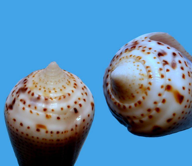 Conasprella (Ximeniconus) ximenes (Gray, 1839) C_xime18