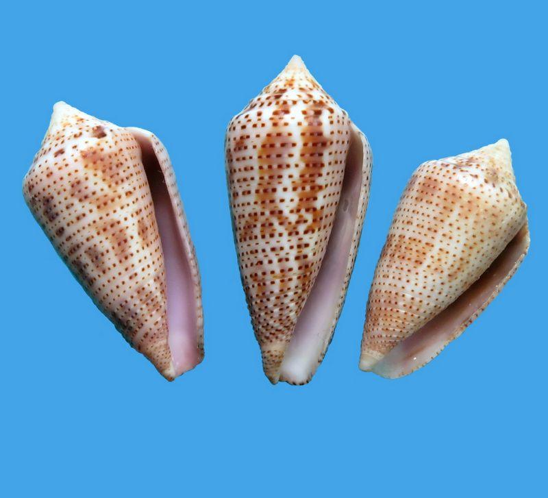 Conasprella (Ximeniconus) ximenes (Gray, 1839) C_xime22