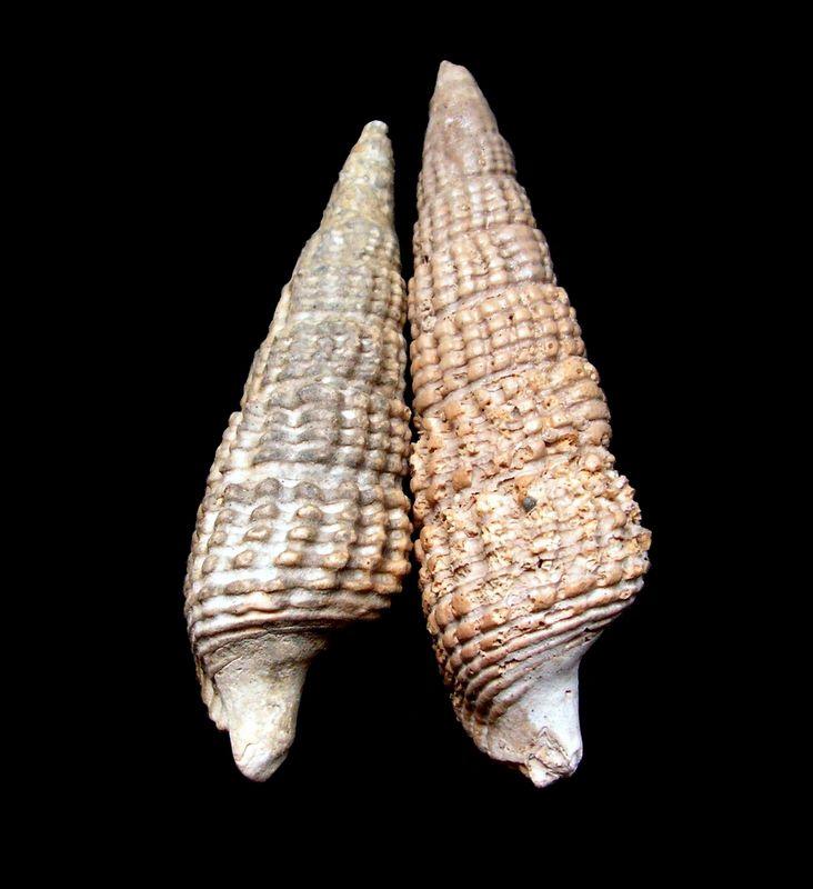 Cerithiidae - † Cerithium bidentatum (Defrance in Grateloup, 1832) - Burdigalien Ceribi10