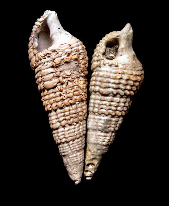 Cerithiidae - † Cerithium bidentatum (Defrance in Grateloup, 1832) - Burdigalien Ceribi11